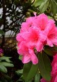 Abejorro que visita una azalea de las rosas fuertes Foto de archivo