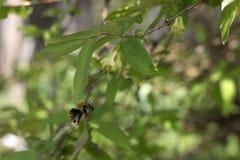 Abejorro que vuela al arbusto floreciente de la madreselva Fotos de archivo
