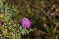 Abejorro que vuela cerca de la flor púrpura espinosa Imagen de archivo libre de regalías