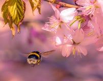 Abejorro que vuela para picar la flor de Sakura bajo luz del sol Imagen de archivo