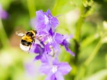 Abejorro que vuela a una flor púrpura imagen de archivo