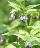 Abejorro que vuela a una flor púrpura de la consuelda Fotos de archivo