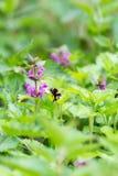Abejorro que vuela a una flor rosada de la Cáñamo-ortiga Fotos de archivo libres de regalías