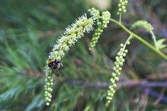 Abejorro rayado lanudo en una flor Foto de archivo