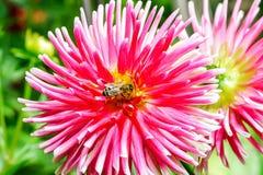 Abejorro sobre la flor rosada, jardín del verano Foto de archivo