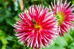 Abejorro sobre la flor rosada, jardín del verano Imágenes de archivo libres de regalías