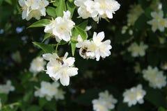 Abejorro y abeja en el arbusto del jazmín Fotografía de archivo