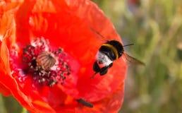 Abejorro y amapola roja Imagenes de archivo