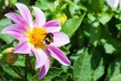Abejorro y avispa en una dalia púrpura grande de la flor Fotografía de archivo