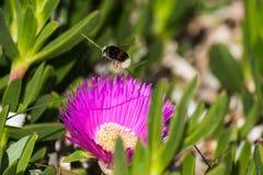 Abejorro y flor Fotos de archivo