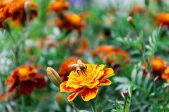 Abejorro y flores Imágenes de archivo libres de regalías