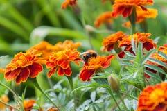 Abejorro y flores Imagen de archivo libre de regalías