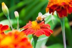 Abejorro y flores Imagen de archivo