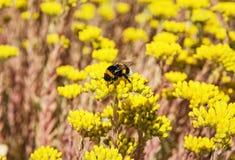 Abejorro y flores amarillas del sedum Fotos de archivo