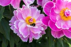 Abejorro y peonía en verano en jardín botánico Foto de archivo libre de regalías