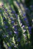 Abejorro y tomillo floreciente Foto de archivo