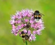 Abejorros en la flor del ajo Imagen de archivo