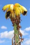 Abejorros en la flor suculenta fotos de archivo