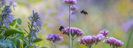 Abejorros en la verbena de las flores en el jardín Imagen de archivo libre de regalías