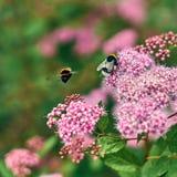 Abejorros en las flores rosadas del verano Imagen de archivo libre de regalías