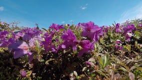 Abejorros hermosos que polinizan la flor violeta metrajes