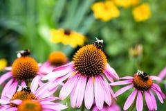 Abejorros que se sientan en las flores coloridas Foto de archivo libre de regalías