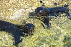 Abel Tasman Baby Seals Stock Photography