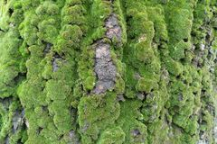 Abele bark covered with green moss. Abele bark covered with lush green moss Royalty Free Stock Photography