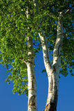 Abele. White poplar. Trunk with branches and leaves against blue sky Royalty Free Stock Images