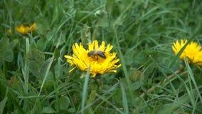A abelha à procura de polen em um dente-de-leão, movimento lento video estoque