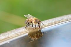 A abelha é bebida Fotografia de Stock Royalty Free