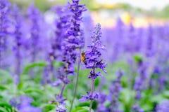 A abelha é de coleta e bebendo as flores da alfazema Fotografia de Stock