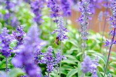 A abelha é de coleta e bebendo as flores da alfazema Imagem de Stock Royalty Free