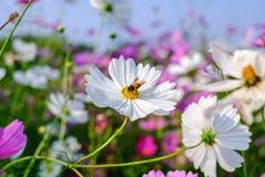 A abelha é de coleta e bebendo as flores do cosmos Fotografia de Stock Royalty Free