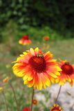 abelha Imagens de Stock Royalty Free