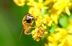 A abelha Foto de Stock Royalty Free