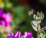 A abelha Fotografia de Stock