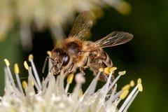Abelha, abelha Fotografia de Stock Royalty Free