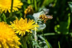 Abelha amarela pequena que poliniza uma flor branca da mola Travado na Fotografia de Stock Royalty Free