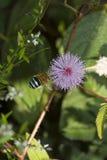 abelha Azul-unida imagem de stock