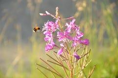 A abelha coleta o néctar Foto de Stock Royalty Free