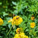 A abelha coleta o néctar Imagens de Stock