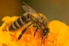 A abelha coleta o néctar Foto de Stock