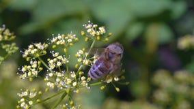 A abelha coleta o néctar filme