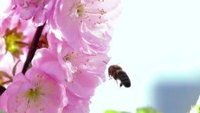 A abelha coleta o néctar Fim acima Movimento lento