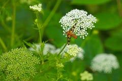 Abelha com as flores brancas pequenas Imagem de Stock Royalty Free