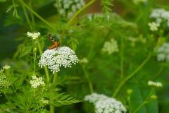 Abelha com as flores brancas pequenas Fotografia de Stock
