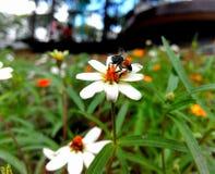 Abelha com flor branca fotografia de stock royalty free