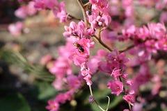Abelha com flores e luz do sol cor-de-rosa Imagem de Stock Royalty Free