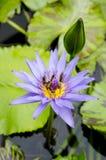 Abelha com florescência da flor dos lótus Imagens de Stock